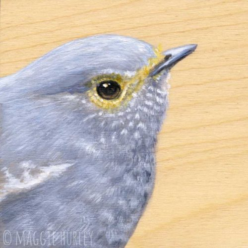 Plumbeous Water redstart bird art by Maggie Hurley
