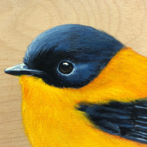 black and orange flycatcher bird painting by maggie hurley close up