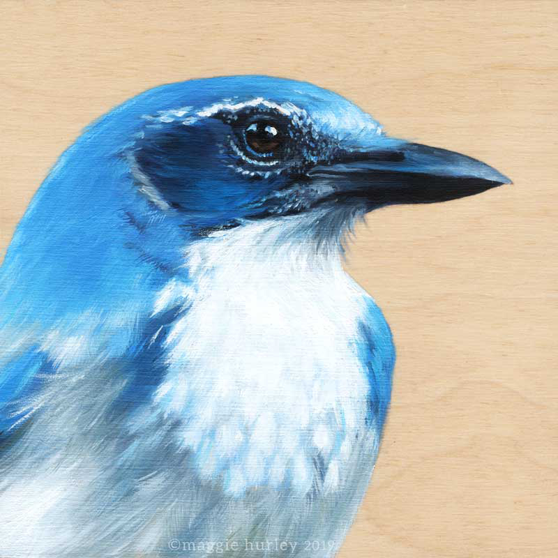 Scrub jay bird art by Maggie Hurley